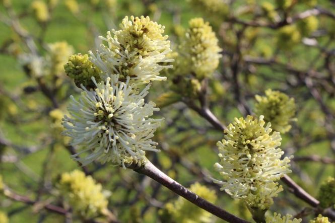 Fothergilla monticola (1)