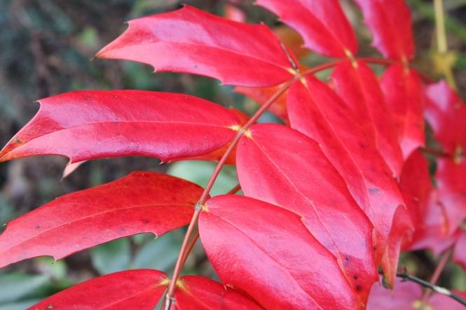 Red Mahonia (4)