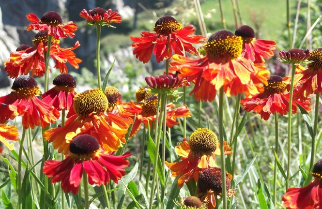 Helenium Moorheim Beauty - Copy (2)