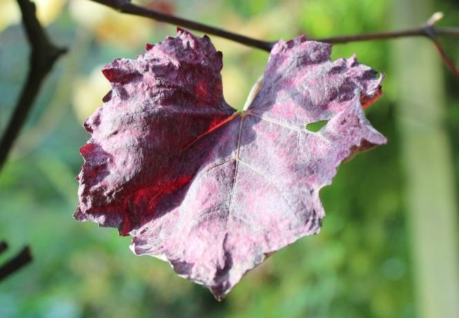 Vine leaf (2)