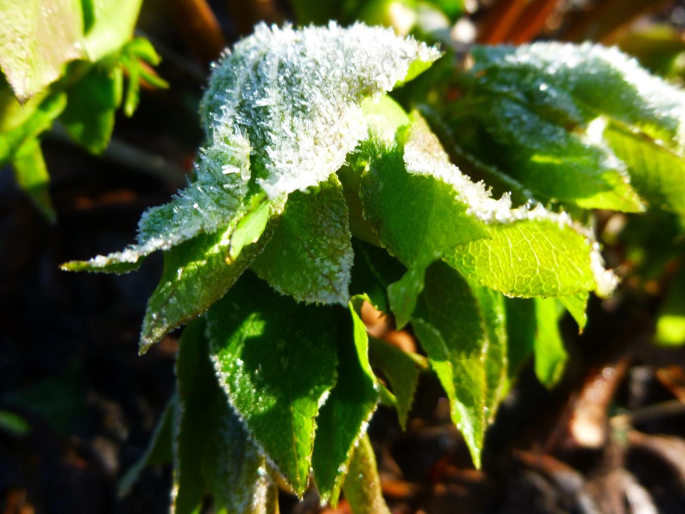 Icy hellebore (5)
