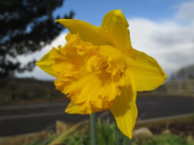 Daffodil (1)