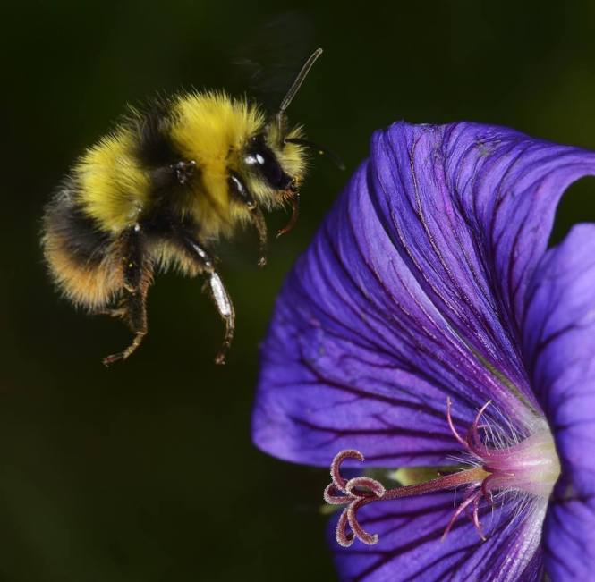 Bee and Geranium