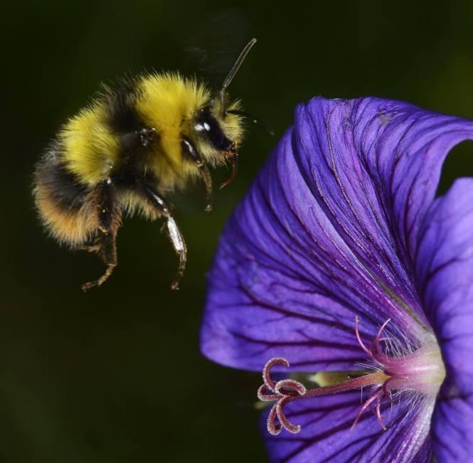 Bee and Geranium