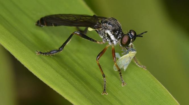 Robber Fly and Frog Hopper