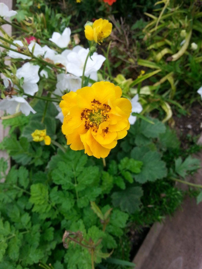 Geum 'Lady Stratheden and Campanula 'White Bell'