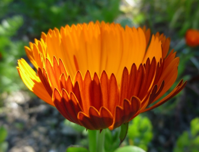 marigold-indian-prince-5