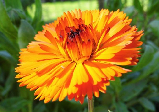 Calendula, African Marigold