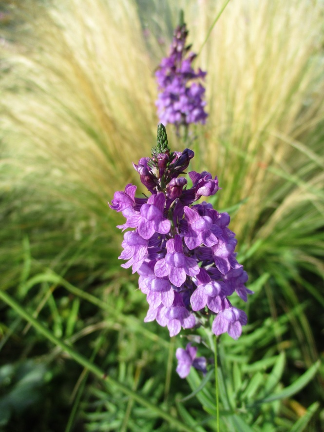 Linaria purpurea - Purple Toadflax
