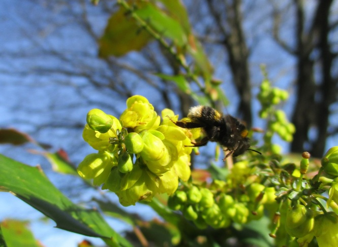 Mahonia and bee