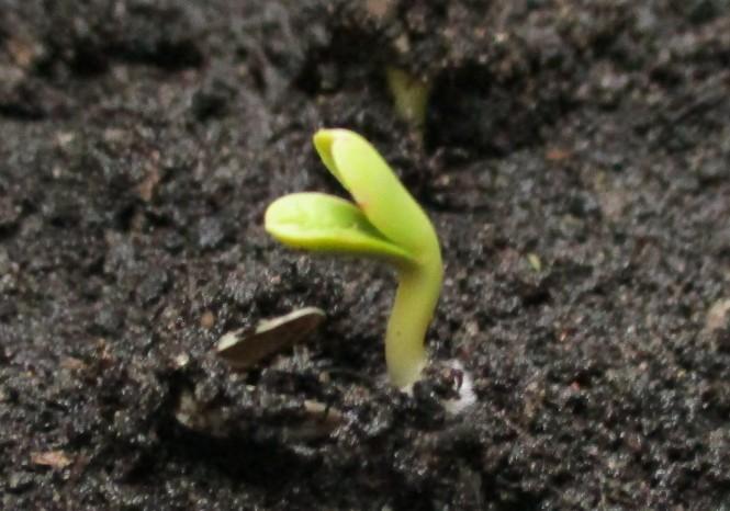 carthamus tinctoria seedling