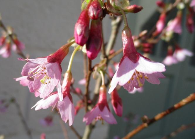 Prunus × incam 'Okamé'