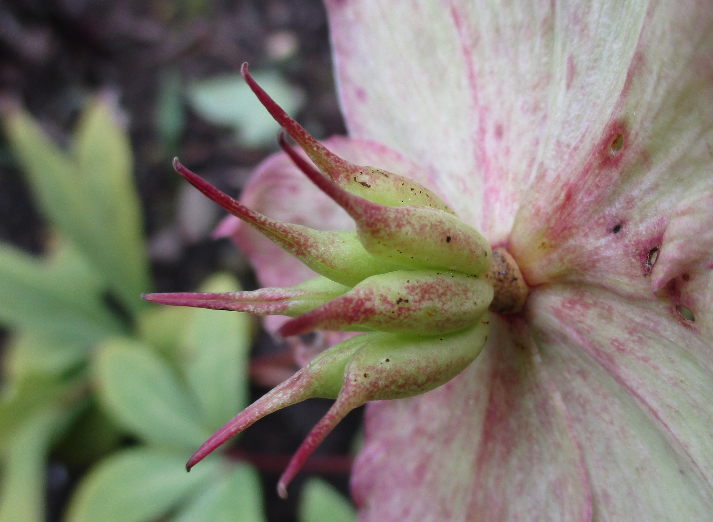 Hellebore seed head