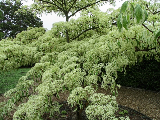 Wedding Cake Tree, Cornus controversa 'Variegata'
