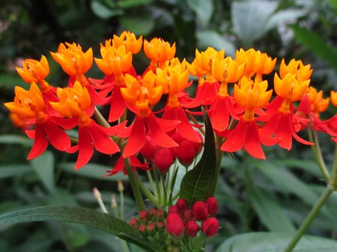 Asclepias curassavica, Bloodflower