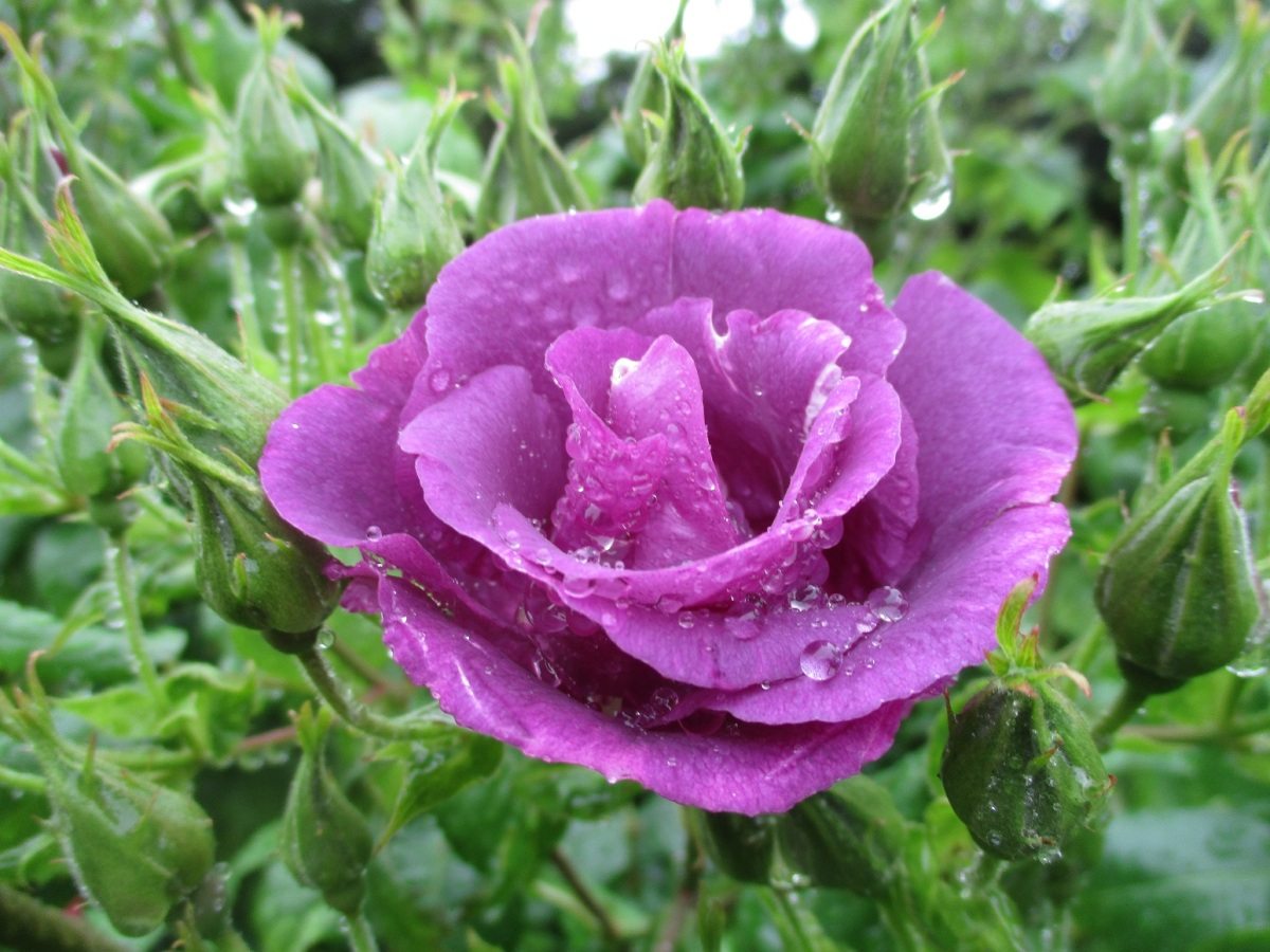 Rosa 'Rhapsody in Blue'