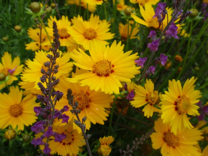 coreopsis and linaria