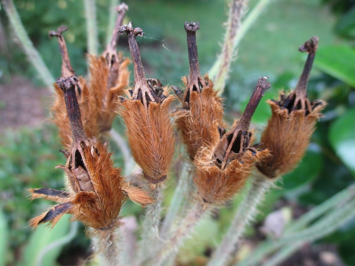 Meconopsis seed heads
