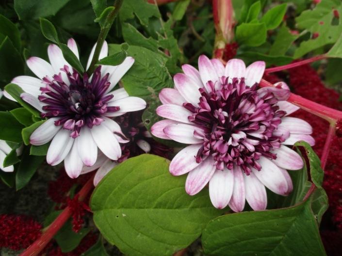 Osteospermum 'Double Berry White'