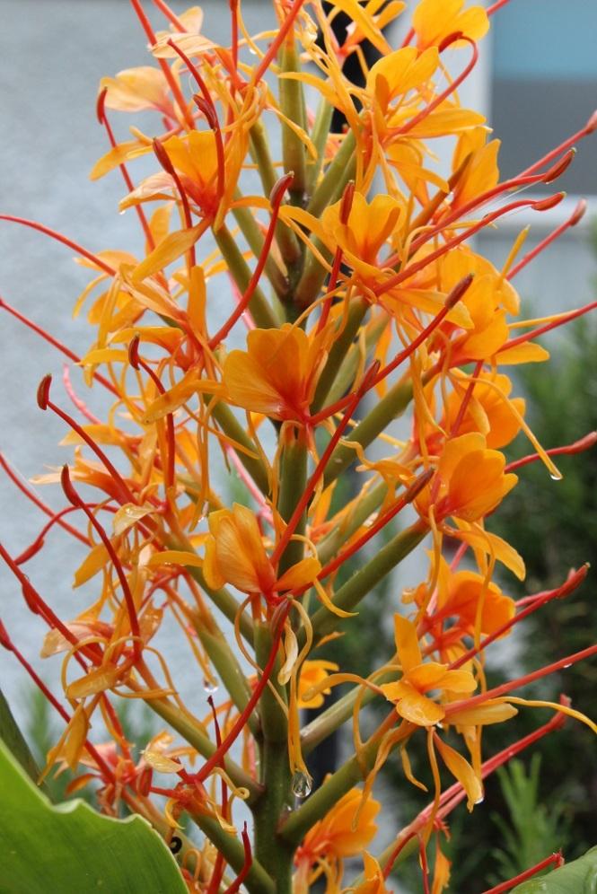 Hedychium 'Tara'