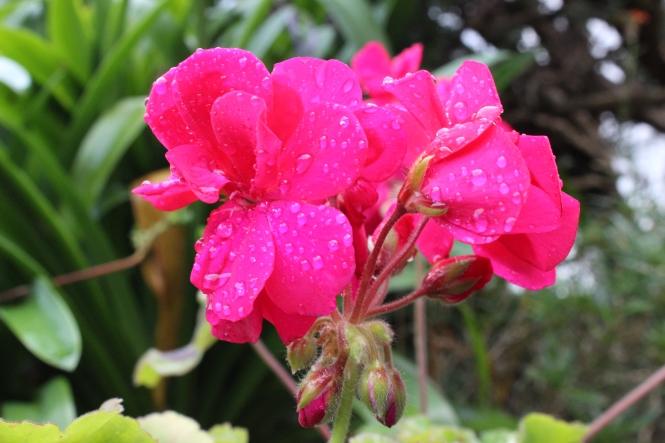 Pelargonium 'Calliope Hot Pink'