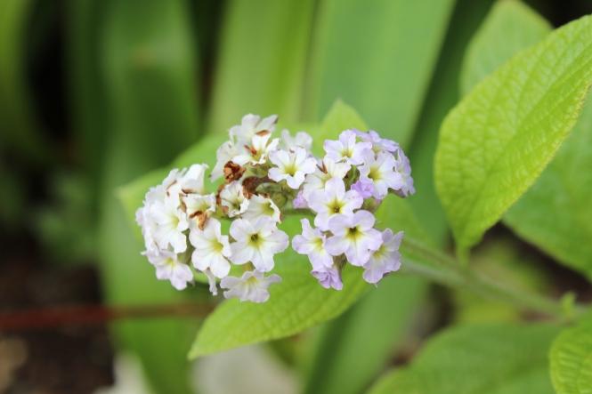 Heliotropium arborescens 'Chatsworth'