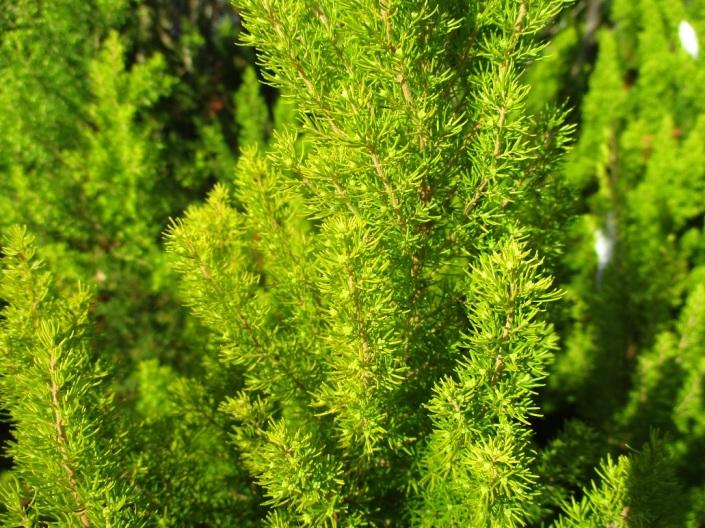 Erica arborea Albert's Gold