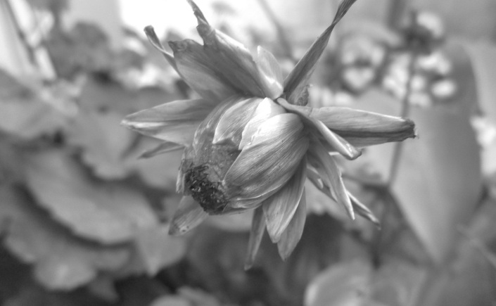 dahlia seed head