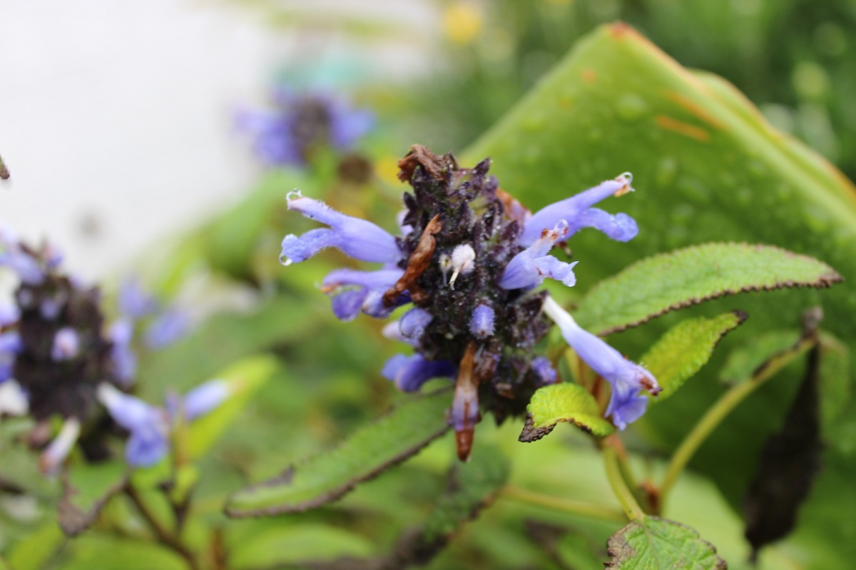 Salvia confertifolia