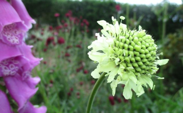 cephalaria