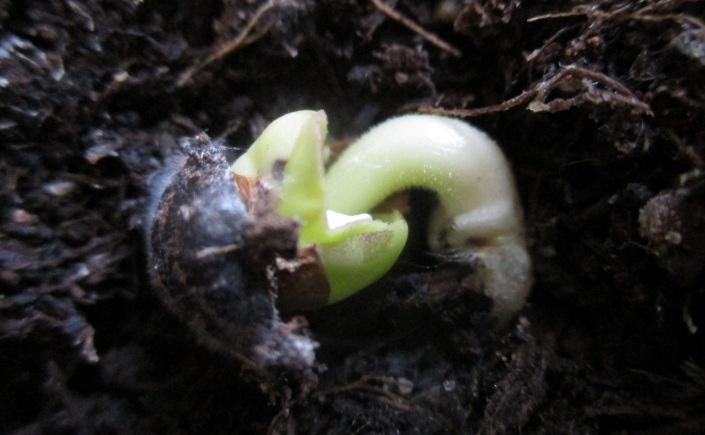 Mirabilis longiflora Angel Trumpet