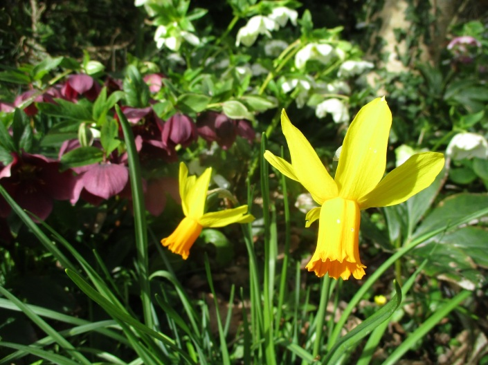Daffodil and hellebore