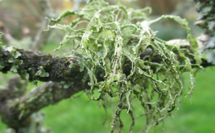apple tree and lichen