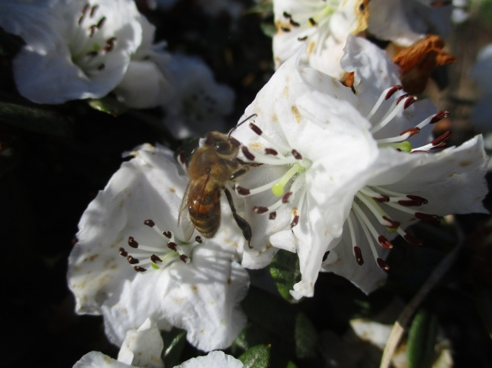 Azalea and honey bee