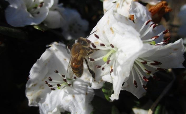 Azalea and honey bee
