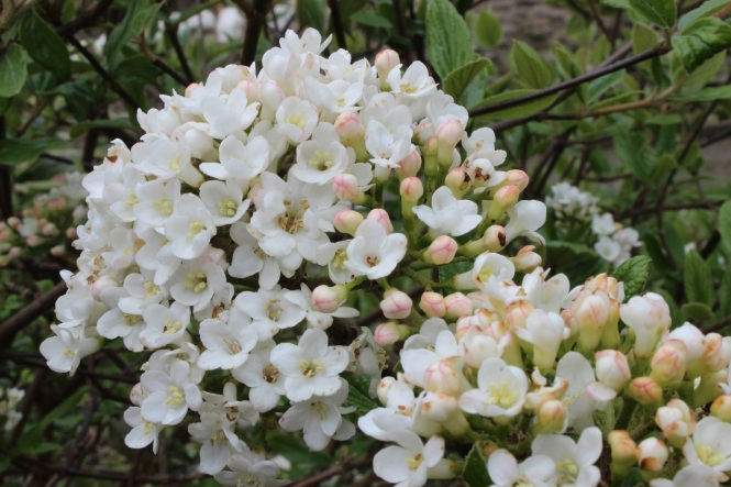 Virburnum x burkwoodii