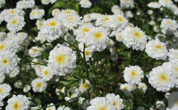 Tanacetum parthenium 'Flore pleno'