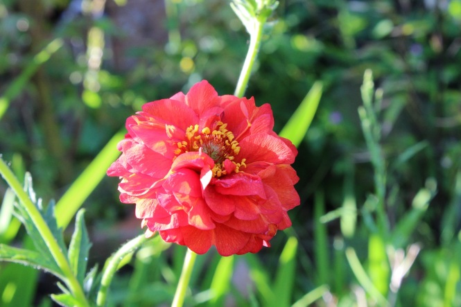 Geum 'Blazing Sunset'