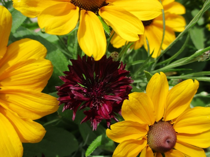 rudbeckia and cornflower
