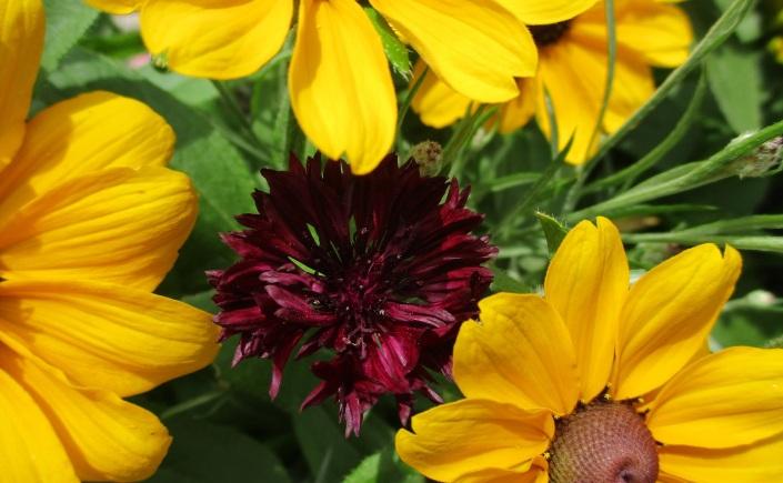 rudbeckia and cornflower