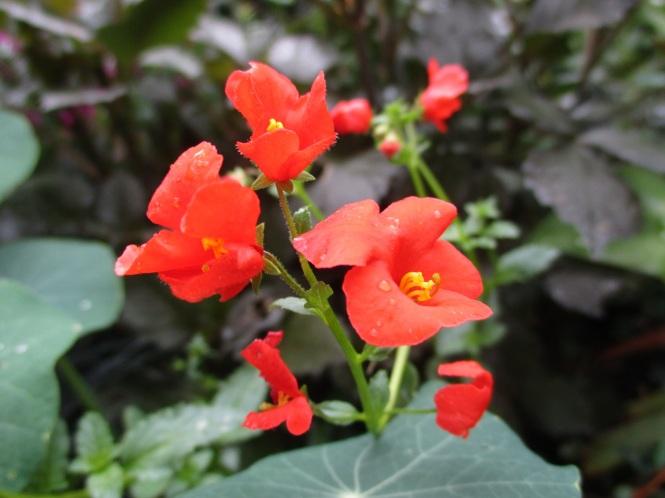 Alonsoa warscewiczii 'Scarlet'