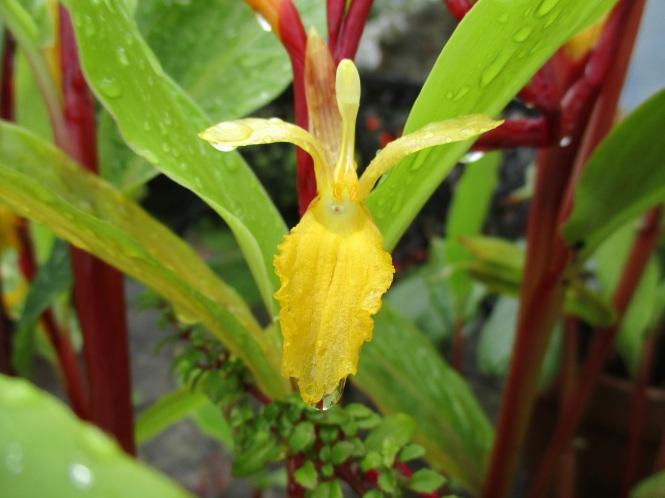 Cautleya spicata 'Robusta'