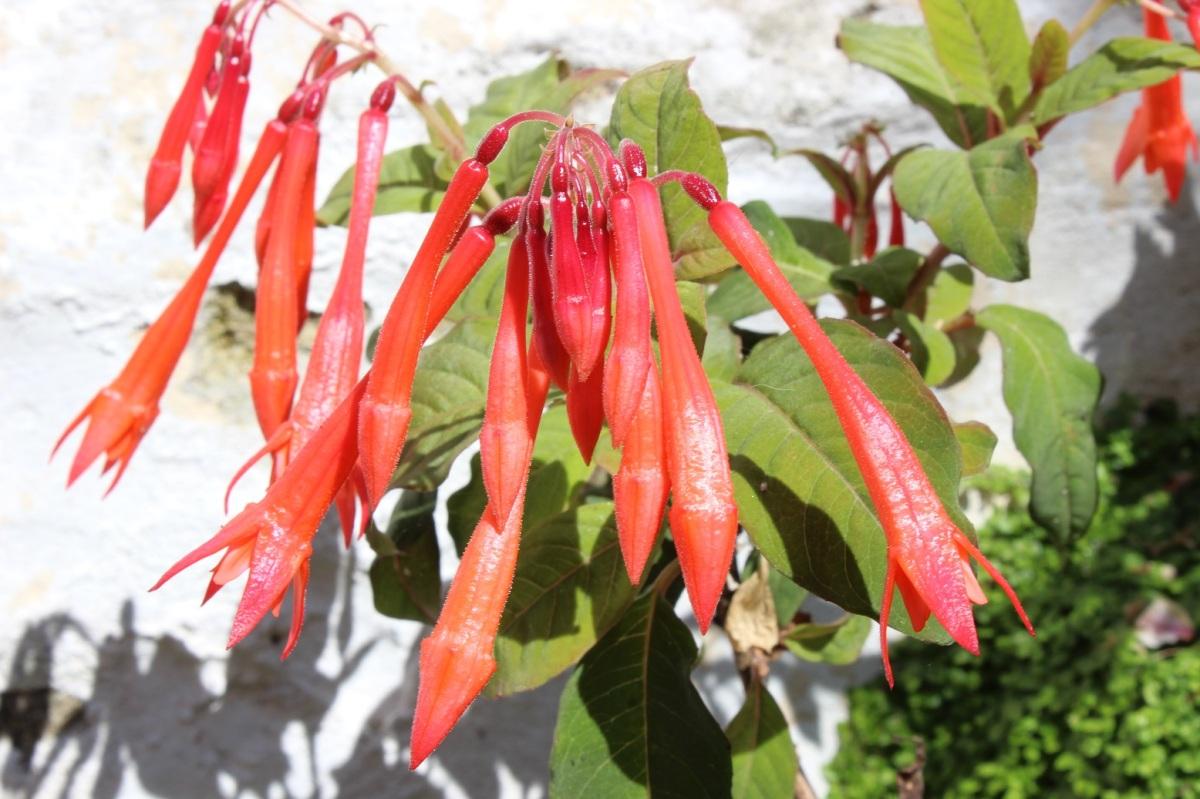 Fuchsia 'Thalia'