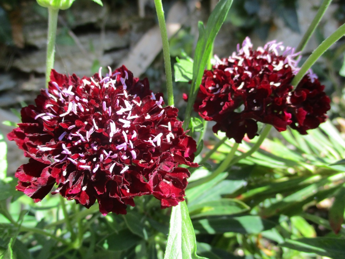 Scabiosa 'Plum Pudding'