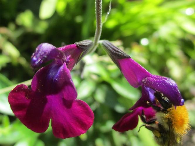 Salvia 'Nachvlinder'