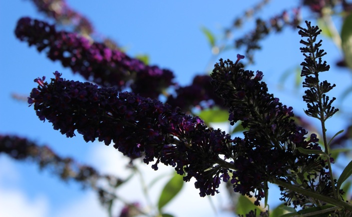Buddleja 'Black Knight'