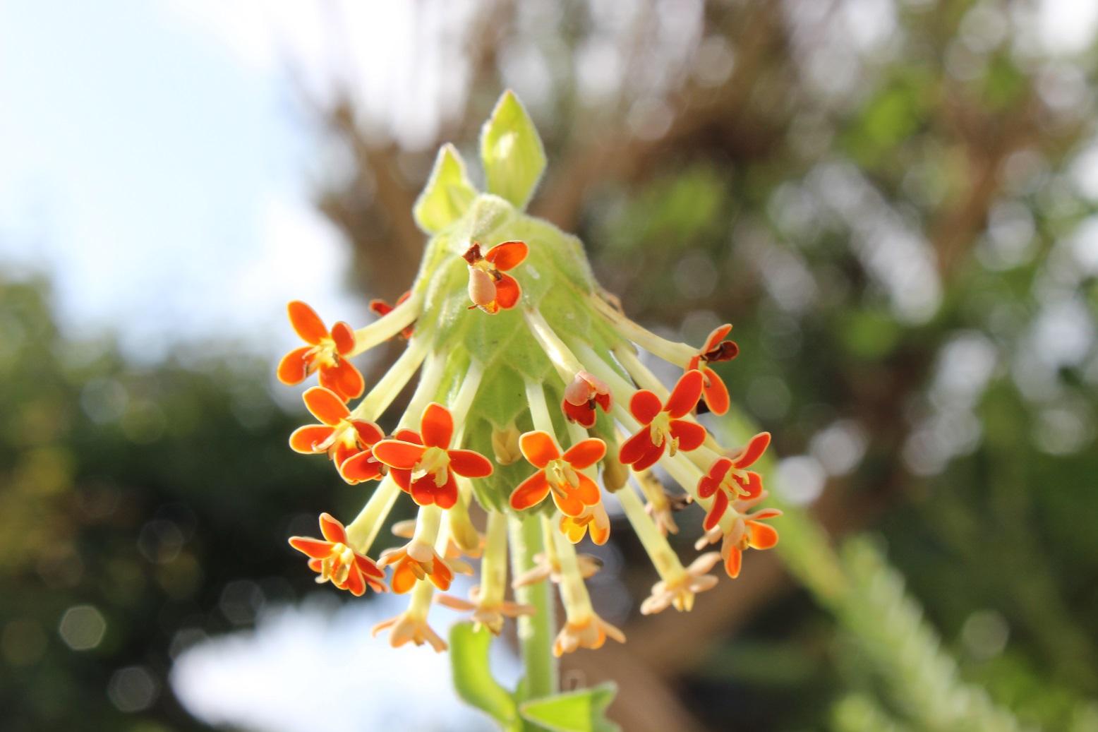 Glumicalyx nutans