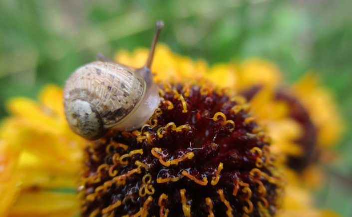 helenium and snail