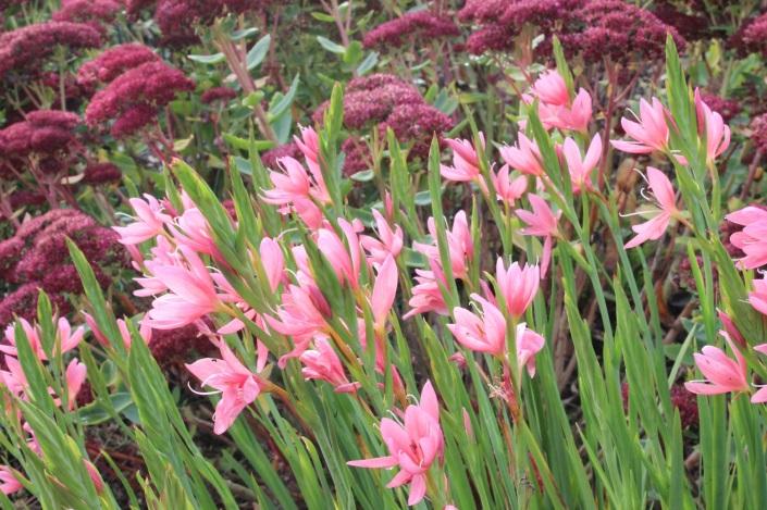 hesperantha and sedum