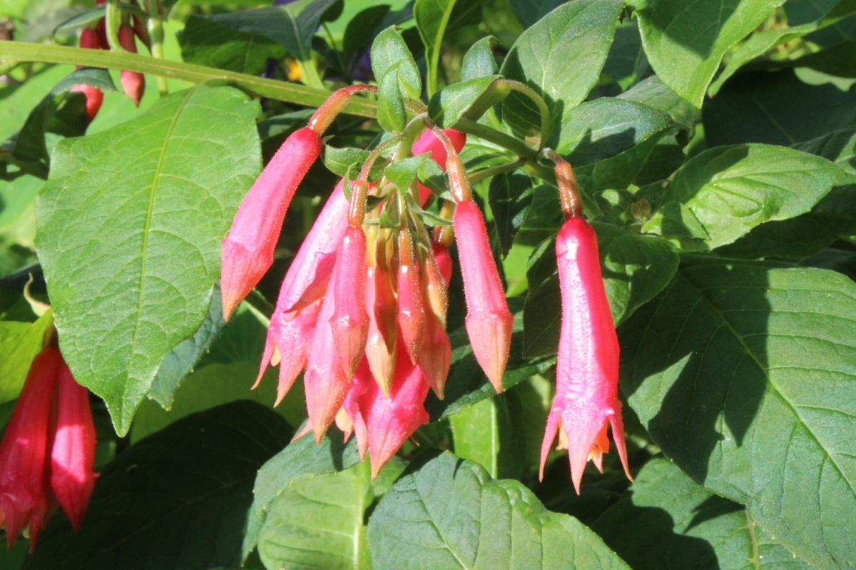 Fuchsia 'Börnemann's Beste'